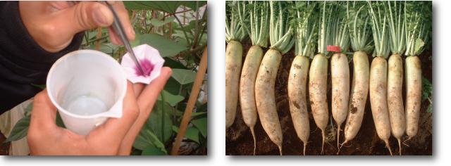 自然農法に適する種苗の育成